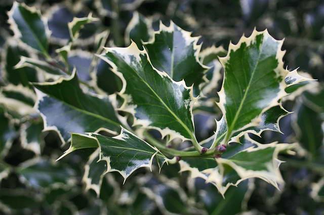 Падуб остролистный сорт Серебряная королева Ilex Aquifolium Silver Queen фото