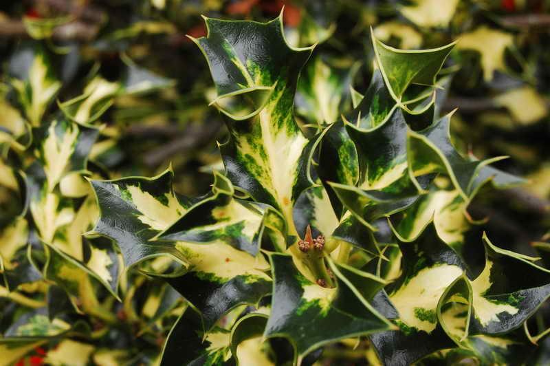 Падуб остролистный вариегата Ilex aquifolium 'Silver Milkmaid' фото