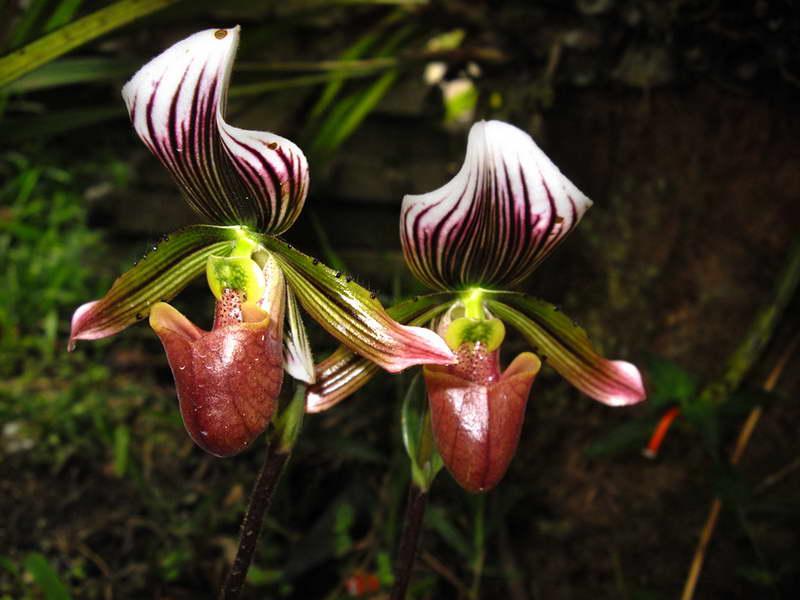 Пафиопедилум Лоуренса Paphiopedilum lawrenceanum фото