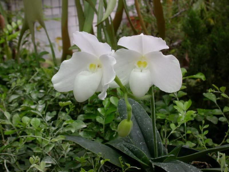 Пафиопедилум белоснежный Paphiopedilum niveum