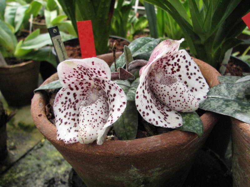 Пафиопедилум хорошенький Paphiopedilum bellatulum фото