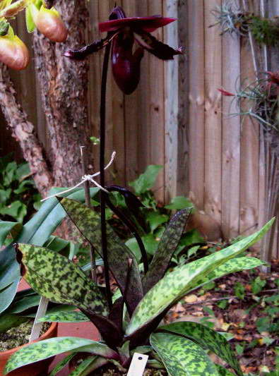 Пафиопедилум мауди виниколор Paphiopedilum Maudiae Vinicolor фото