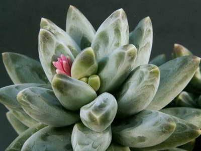 Пахифитум компактный Pachyphytum compactum фото