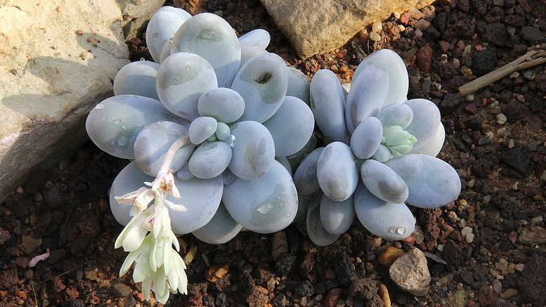 Пахифитум яйценосный посадка и уход в домашних условиях фото цветов