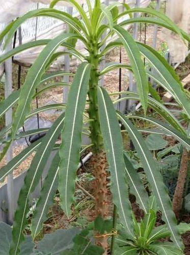 Пахиподиум Южный Pachypodium meridionale фото