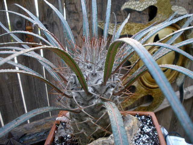 Пахиподиум Жайи Pachypodium geayi Мадагаскарская пальма выращивание и уход фото
