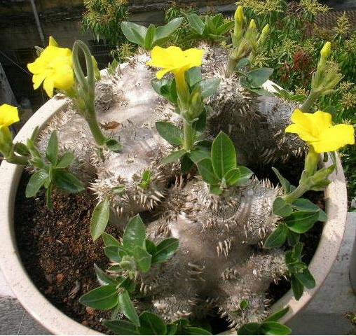 Пахиподиум густоцветковый Pachypodium densiflorum уход в домашних условиях