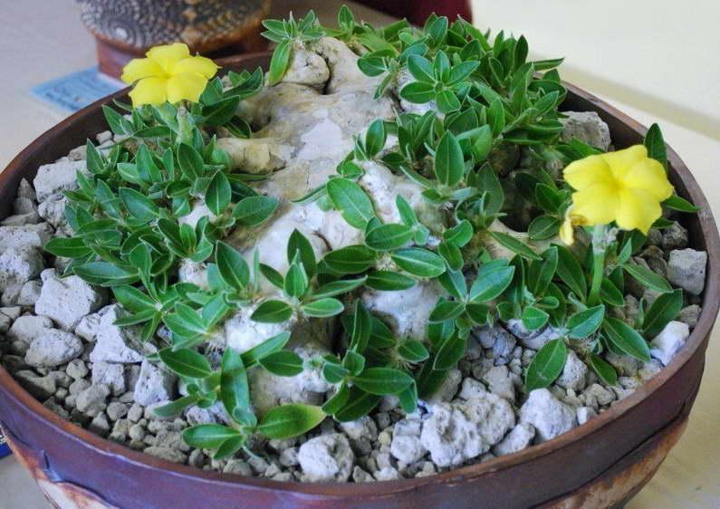 Пахиподиум короткостебельный Pachypodium brevicaule выращивание и уход фото