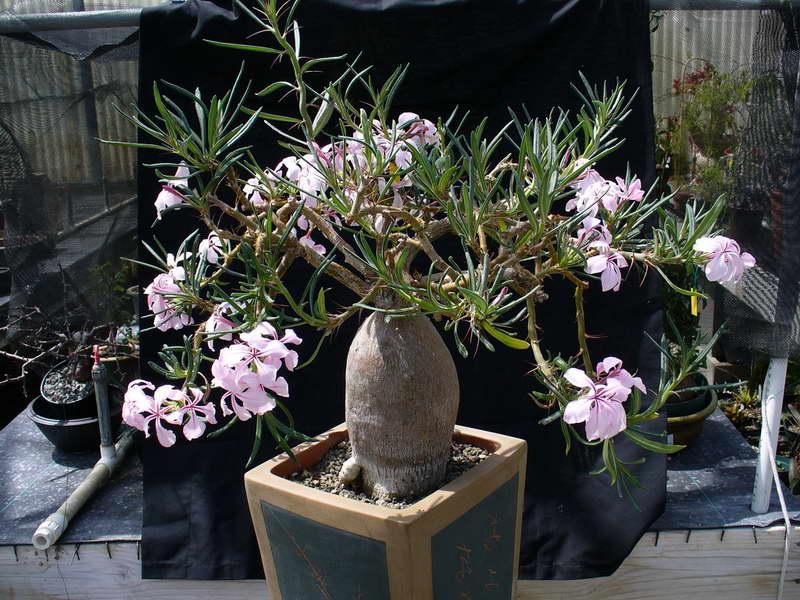 Пахиподиум суккулентный Pachypodium succulentum фото