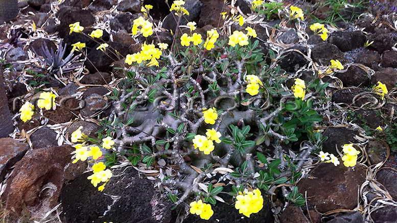Пахиподиум цветок фото как цветет Как размножается пахиподиум фото