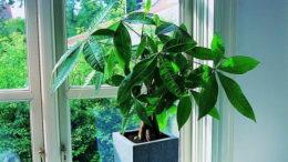 Пахира как ухаживать в домашних условиях фото денежного дерева