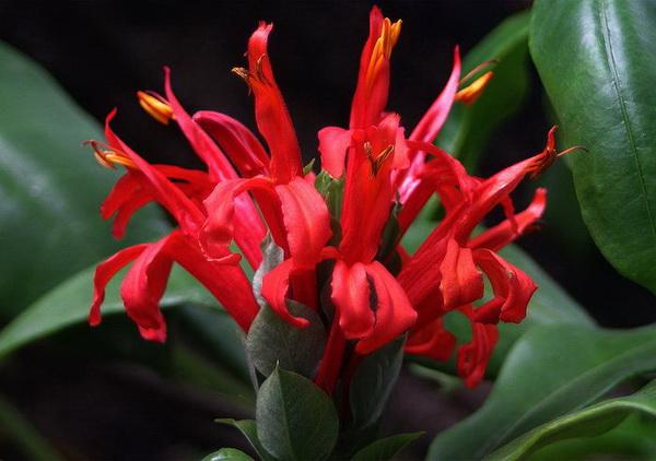 Пахистахис красный Pachystachys coccinea фото цветения