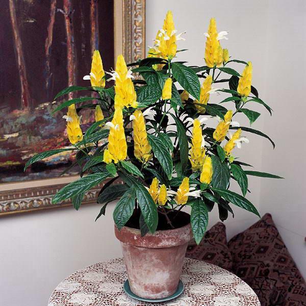 Пахистахис желтый Pachystachys lutea фото Обрезка и уход в домашних условиях