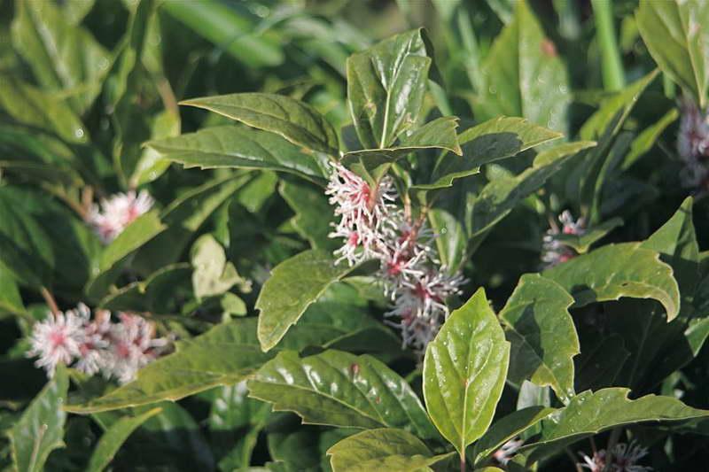 Пахизандра пазушная Pachysandra axillaris фото