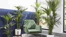 Пальма ховея уход в домашних условиях Фото в интерьере