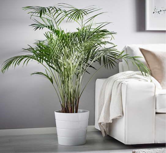 Пальма хризалидокарпус уход в домашних условиях фото