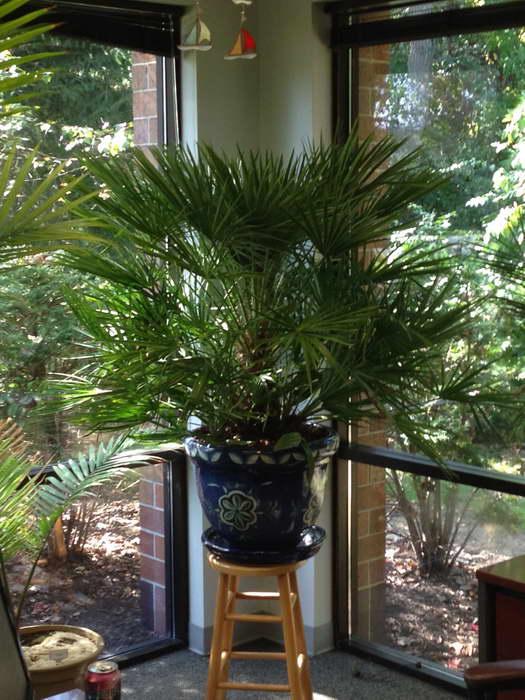 Пальма трахикарпус уход в домашних условиях и размножение