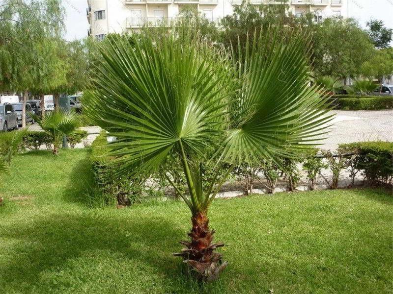 Пальма трахикарпус выращивание в саду фото
