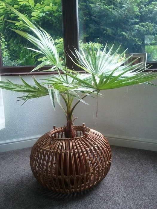 Пальма вашингтония уход в домашних условиях Фото в интерьере