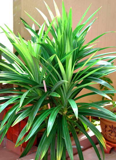 Панданус фото уход в домашних условиях и выращивание из семян