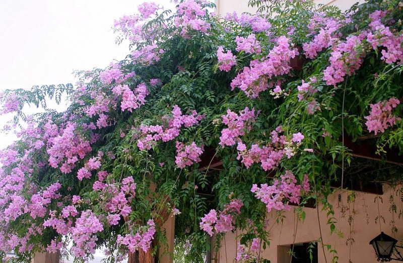 Пандорея Рикасоля фото