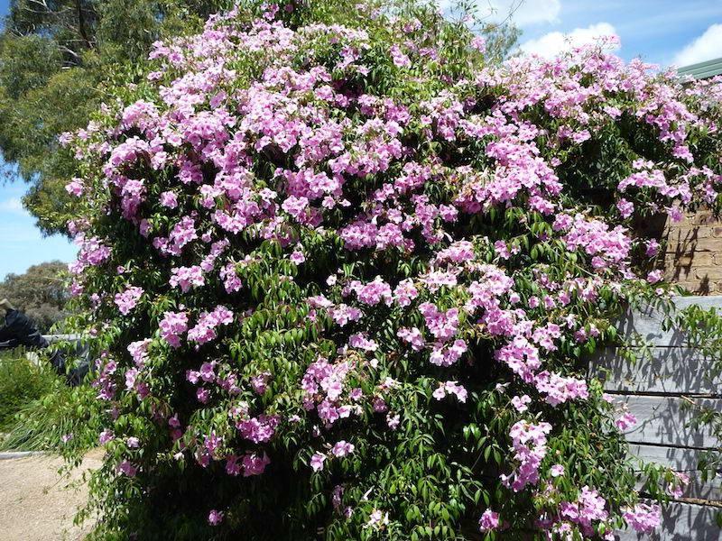 Пандорея жасминовидная Pandorea jasminoides фото