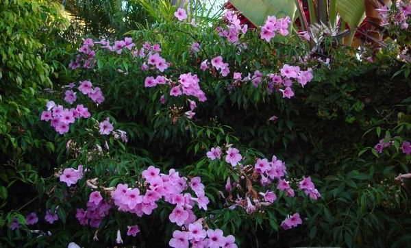 Пандорея жасминовидная Pink Bower Vine 'Rosa Superba' (Pandorea jasminoides) фото