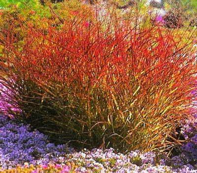 Паникум красный Panicum virgatum 'Rubrum' фото