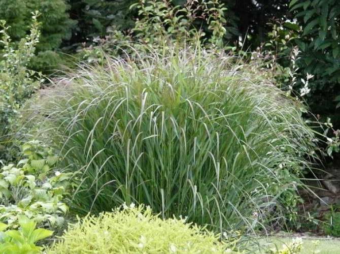 Паникум виргатум Panicum virgatum 'Squaw' зелень фото