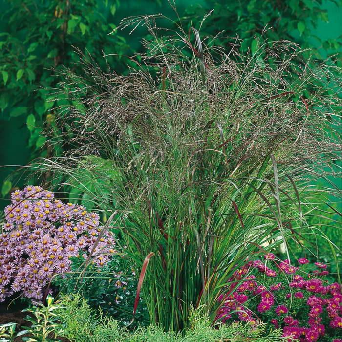 Паникум виргатум Panicum virgatum Warrior фото с цветами на клумбе