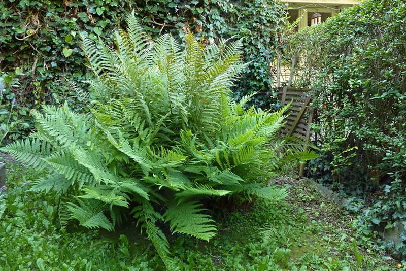 Папоротник орляк обыкновенный фото в саду