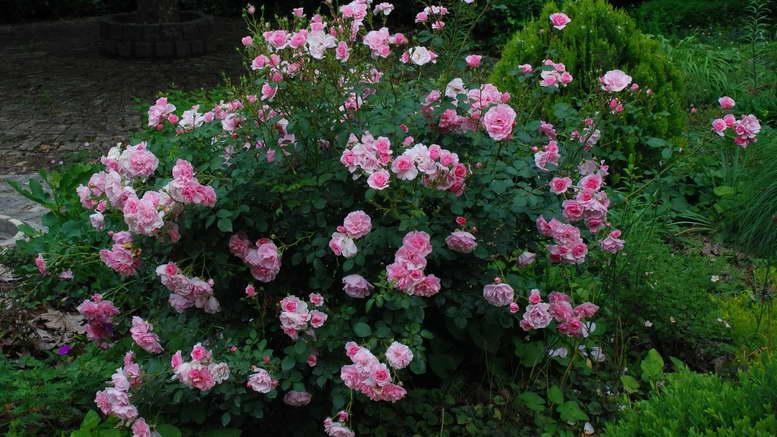 Парковые розы для Подмосковья не требующие укрытия на зиму