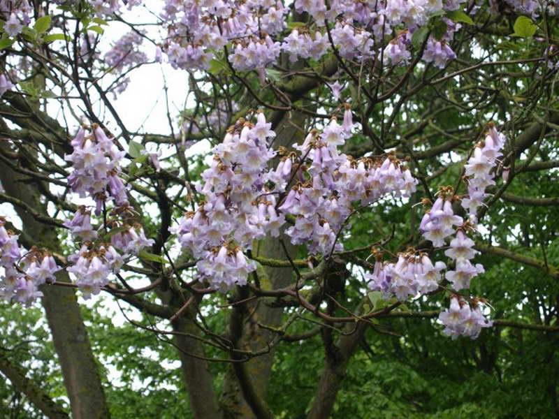 Павлония катальполистная Paulоwnia catalpifolia фото