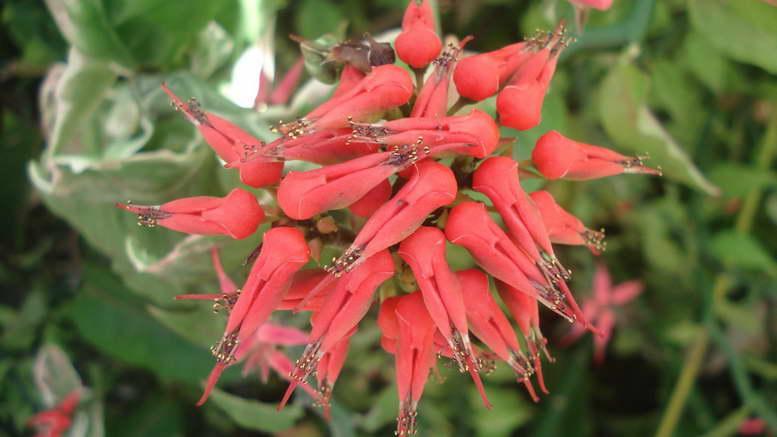Педилантус титималоидный Pedilanthus tithymaloides уход в домашних условиях фото