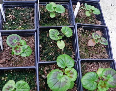 Пеларгония из семян Фото рассады