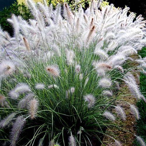 Пеннисетум лисохвостный Гамельн Pennisetum alopecuroides 'Hameln' фото