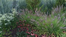 Пеннисетум лисохвостный посадка и уход Выращивание из семян