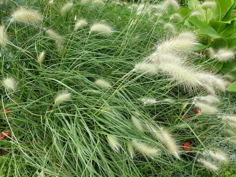 Пеннисетум мохнатый Pennisetum villosum фото