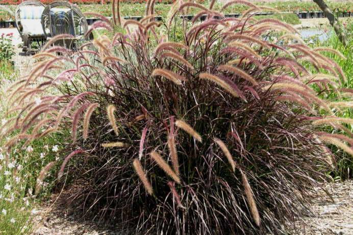 Пеннисетум рубрум Pennisetum setaceum rubrum 'Dwarf Red' фото