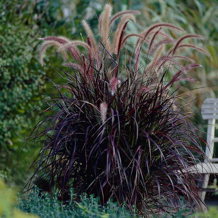 Пеннисетум щетинистый Pennisetum setaceum Rubrum фото
