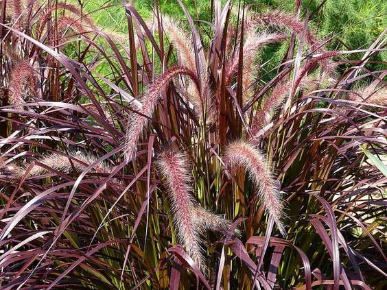 Пеннисетум щетинистый выращивание и уход в открытом грунте