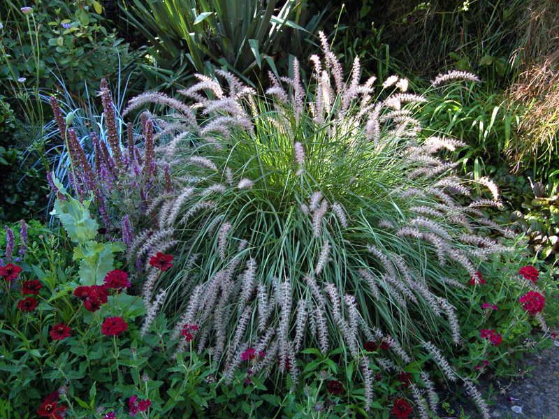 Пеннисетум восточный выращивание из семян посадка и уход