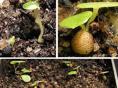 Пеперомия из семян фото
