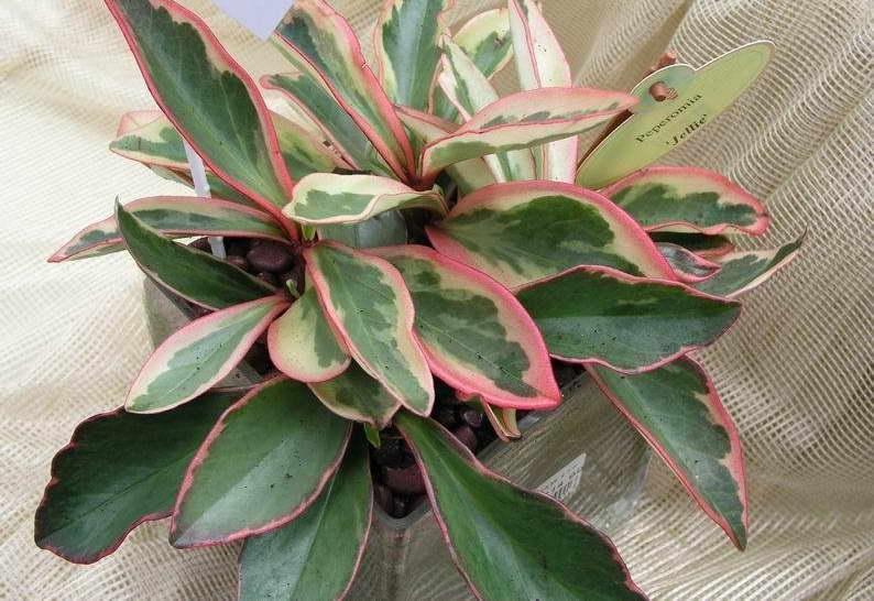 Пеперомия клузиелистная Peperomia clusiifolia фото