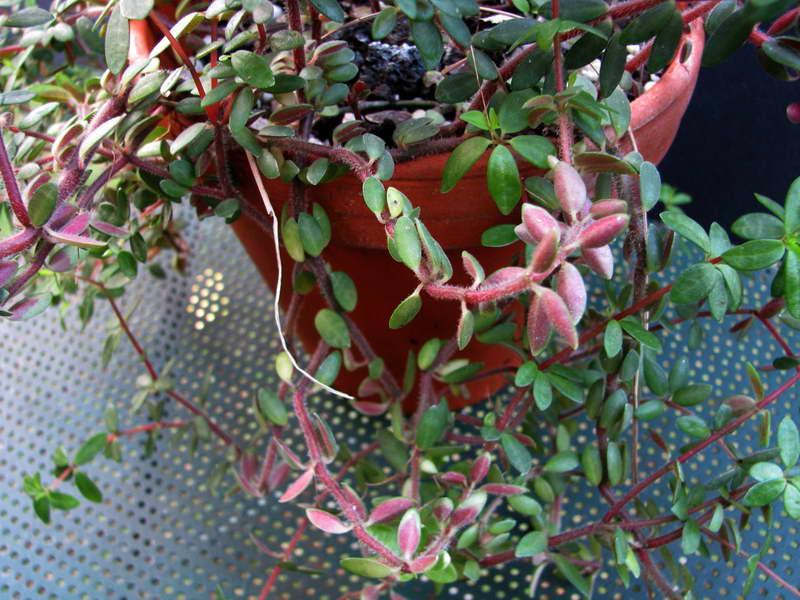 Пеперомия красноватая Peperomia rubella фото