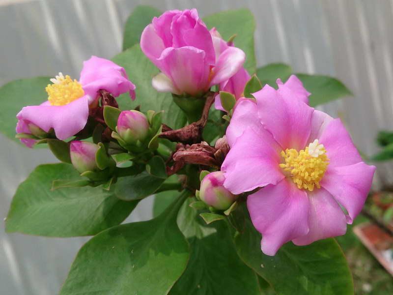 Переския большецветковая Pereskia grandiflora фото