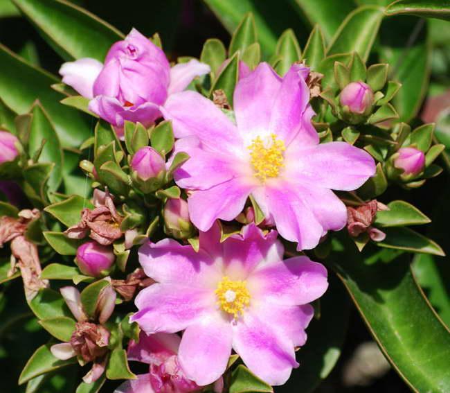 Переския годсеффа уход в домашних условиях фото цветения