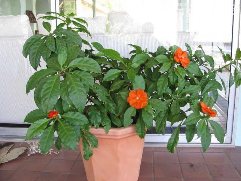 Переския оранжевая Pereskia bleo фото