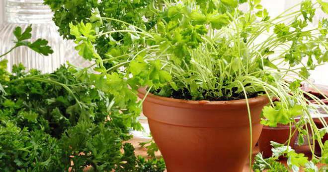 Петрушка на подоконнике выращивание из семян фото