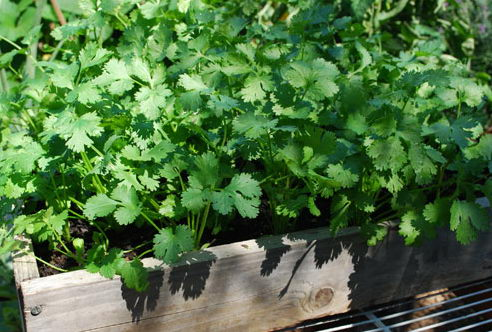 Петрушка на подоконноке как выращивать из семян
